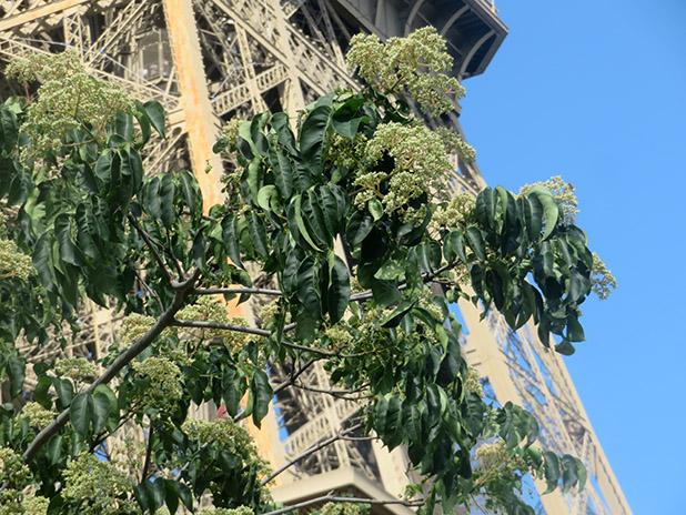 Les arbres remarquables du Champ de Mars